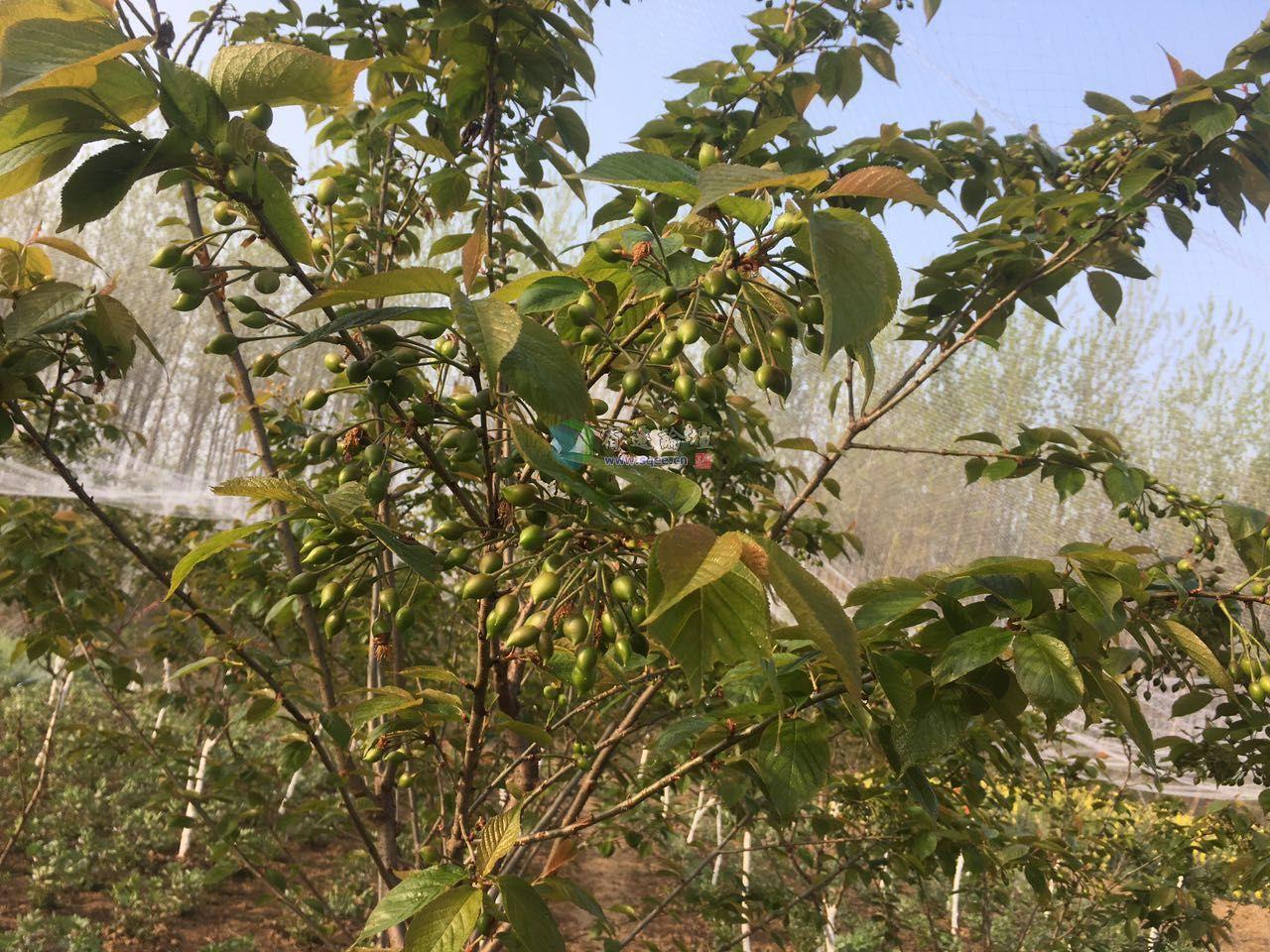 树人学校旁樱桃树.桃树认养