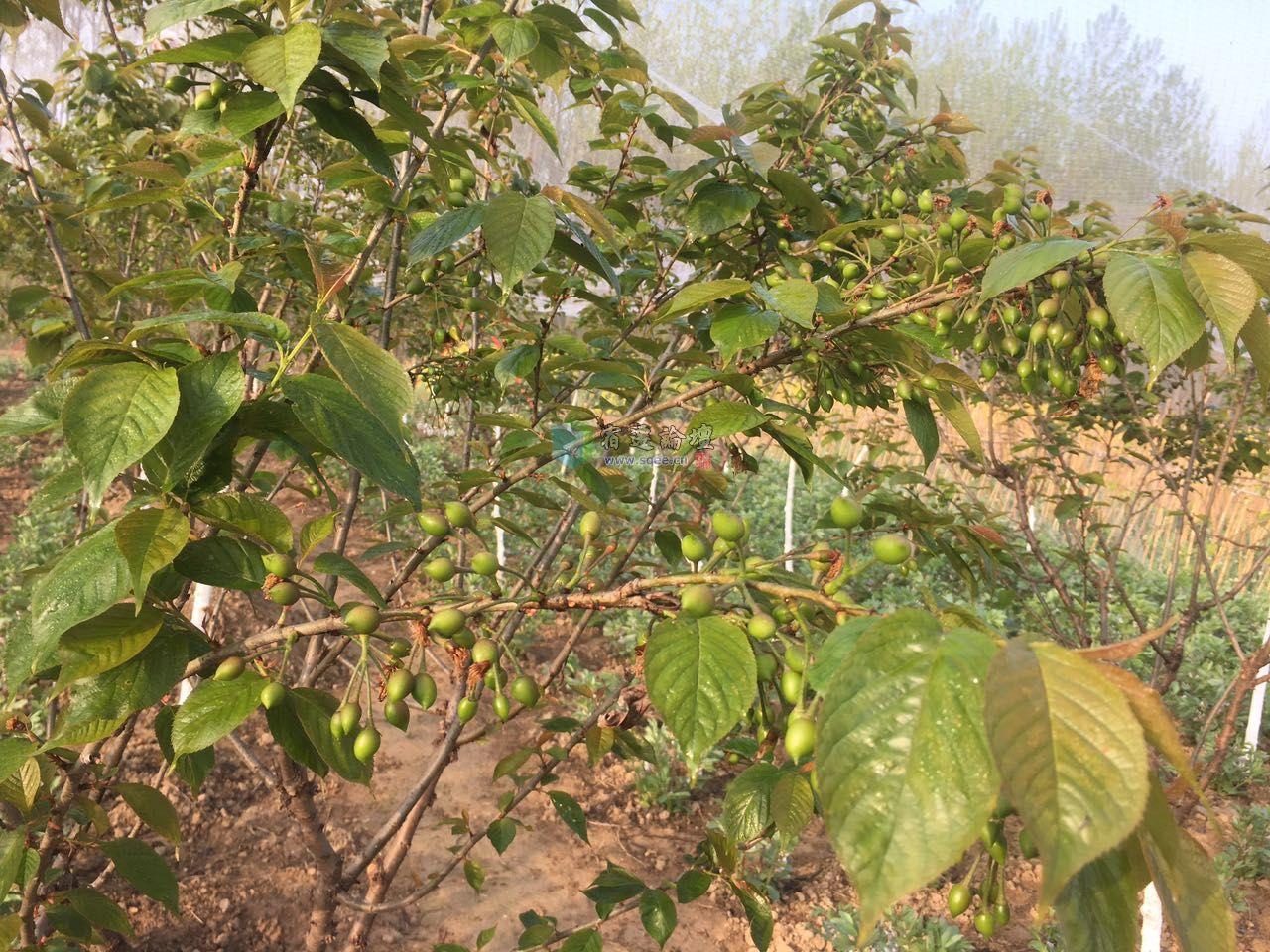 树人学校旁樱桃树,桃树认养